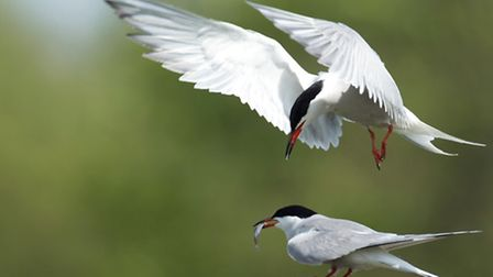 Male common tern having passed a fish to a female