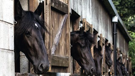 Friesians in the stables at Myerscough Photo Sandy Kitching