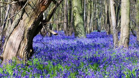 Blue and belle A selection of images capturing an abundant bluebell and one of the most welcome sig