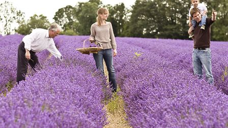 The lavender fields bring a fragrant harvest for Mitchell & Peach's bath and body products, now avai