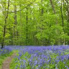 From country parks to ancient woodlands, Suffolk is home to beautiful bluebell walks... | Captain's