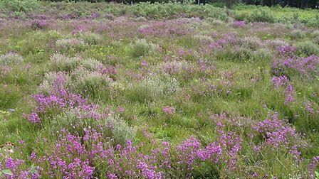 Tiptree Heath provides a habitat for Bell and Cross heathers