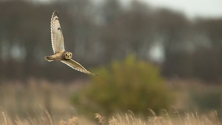 Cal Cottrell - Short-eared owl at Blackpool. They look around when they hear the camera shutter