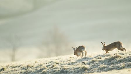 Cal Cottrell - These hares were captured near Dunsop Bridge