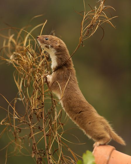 Cal Cottrell - It took Cal three months to get this picture of a weasel near Darwin