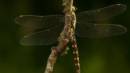 Cal Cottrell - Southern hawker dragonfly. This image was taken near Bolton