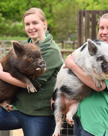Wroxham Barns Junior farm staff Hannah Goodman and Catherine Flaxman with micro pigs named Toffee an