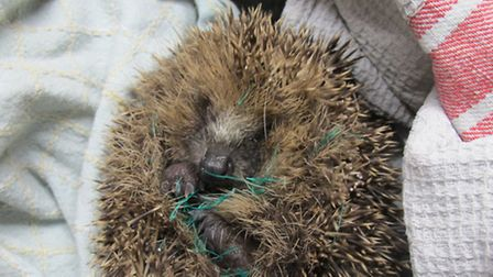 A hedgehog trapped in garden netting treated at Secret World Wildlife Rescue and released.