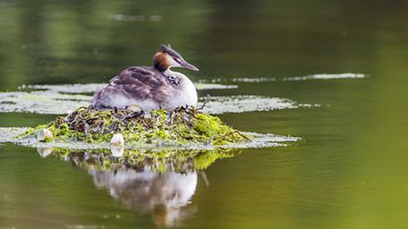 A newly hatched chick struggles to climb on mum's back