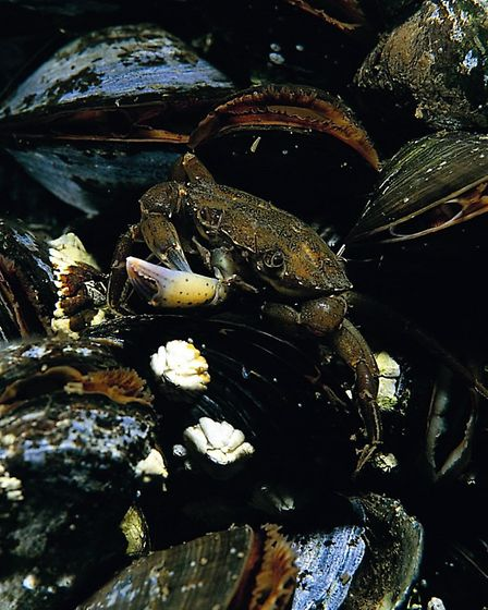 A shore crab carrying a claw by Paul Naylor