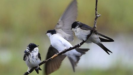 House martins. Picture: Elizabeth Dack
