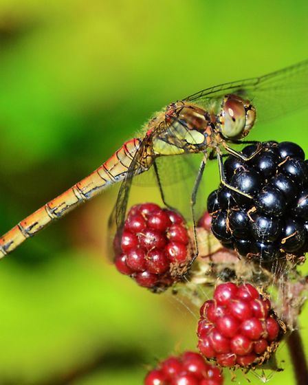 Common darter dragonfly on blackberries. Picture: Elizabeth Dack