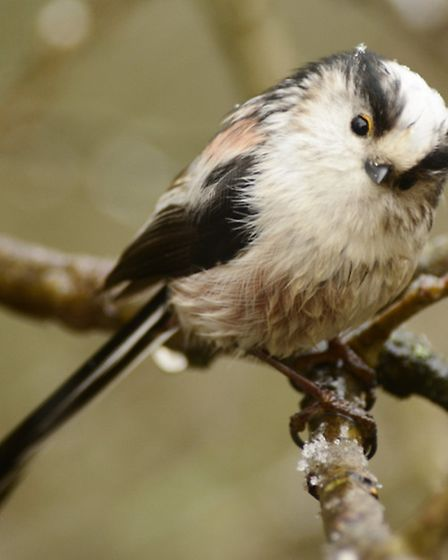 Long-tailed tit. Picture: Elizabeth Dack