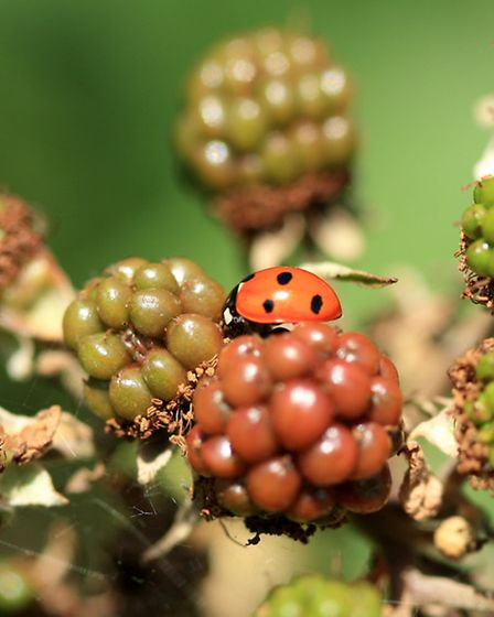 Ladybird on a blackberry. Picture: David Cooke