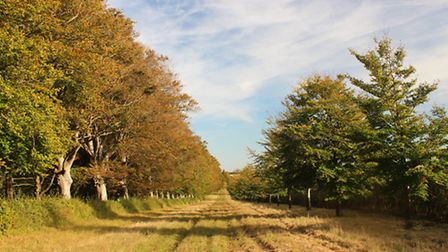 The last stretch of the magnificent Beech Avenue at Kingston Lacy