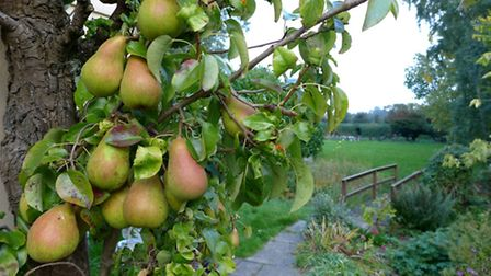 Everything's lovely in the orchard, including ripening pears.