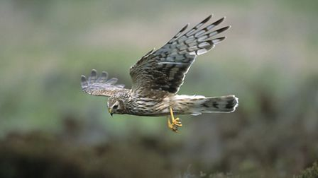 A female hen harrier (Circus cyaneus) - Andy Hay (rspb-images.com)