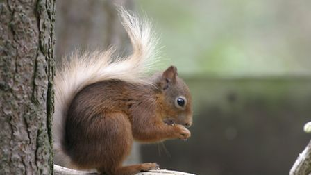 Red squirrel showing bright summer colours by Darin Smith