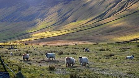 Sheep grazing at Dent by David Cole