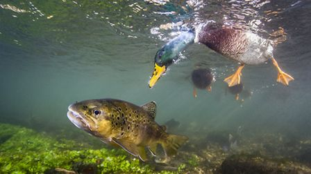 Paul Colley's 'Hello Ducky (Brown Trout and Mallard Duck)'. Photographed in Goodworth Clatford, Hamp