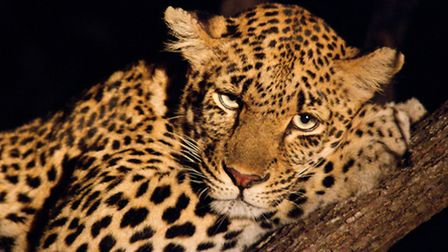 Right: Night Eyes is definitely a favourite picture of mine from Africa. Its a leopard on a tree in