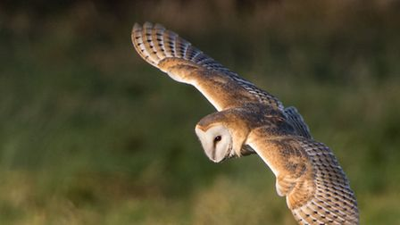 A barn owl hunting over the marshes at NWT Cley. Picture: Andy Bamforth
