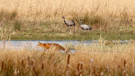 An agitated pair of cranes watch as a fox passes by at NWT Upton. Picture: Ian Davis