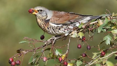 A fieldfare at Hardley. Picture: Nick Appleton