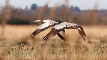 A pair of trumpeting cranes in flight at NWT Upton. Picture: Ian Davis