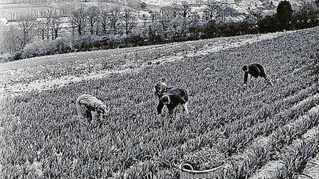 Daffodil-picking-at-Wadebridge-736f0ff4