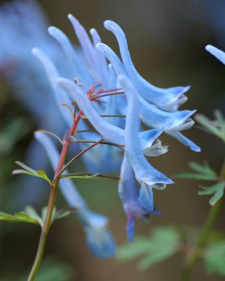 Corydalis flexuosa 'Pere David'
