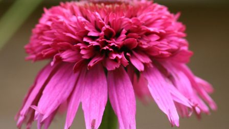 Echinacea 'Secreat Affair'