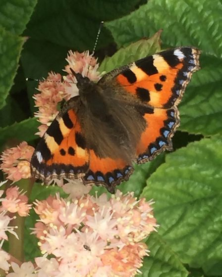 Tortoiseshell butterfly on Rodgersia pinnata 'Superba' flowers