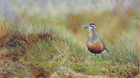 A dotterel, one of the areas many wading birds by Andy Beckett