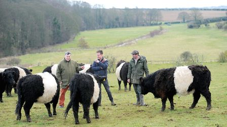 Belted Galloways from Chalk Hill Farm on the Holkham estate