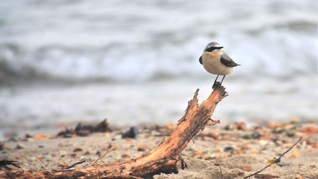 Northern wheatear in Poole Harbour - an early spring arrival (Photo by Paul Morton)
