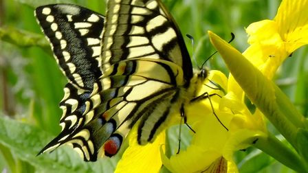 Swallowtail butterly (photo by David Nobbs)