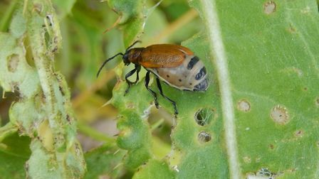Rae leaf beetle not found anywhere else in the country (photo by David Nobbs)