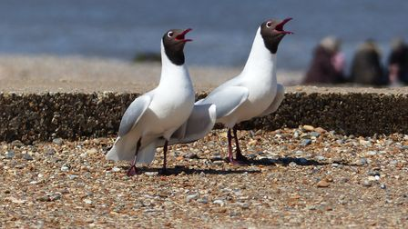 Black-headed gulls' courtship ritual atop a pillbox at Cley (pic by Kevin Woolner)