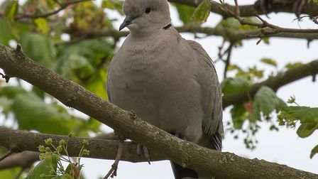 Collared dove at Worstead (pic: Colin Eve)
