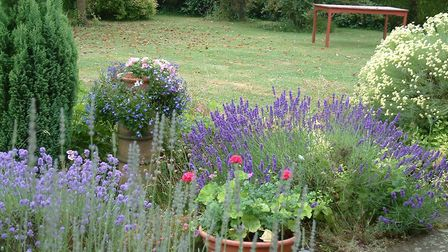 Lavender in summer by the house