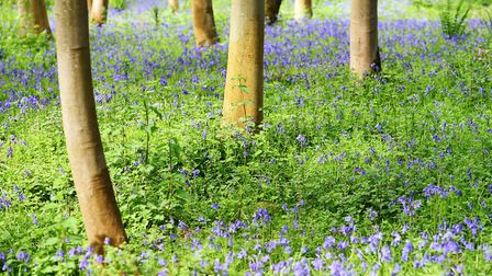 The bluebell woodland Fairhaven Woodland and Water Garden, South Walsham (photo: James Bass)