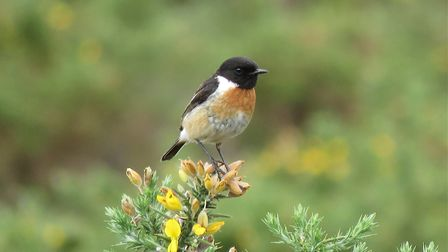 Stonechat: This robin sized bird has a sharp loud call that sounds like two stones being tapped toge