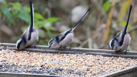 Long-tailed tits (photo: Elizabeth Dack)