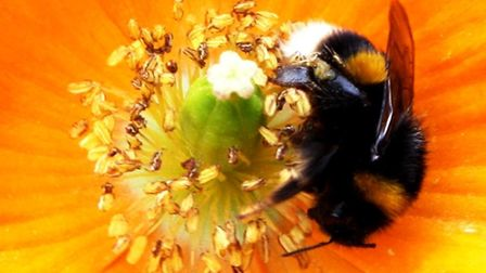 Buff-tailed bumblebee on a garden flower by Alan Wright