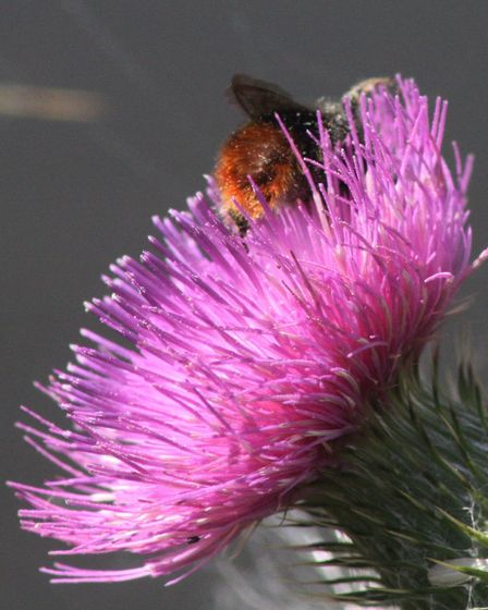 Red-tailed bumblebee snuggling into a thistle by Alan Wright