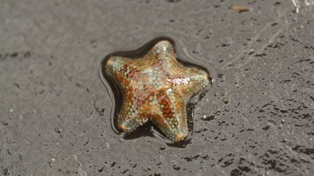 Small cushion starfish (Photo by Julie Hatcher)