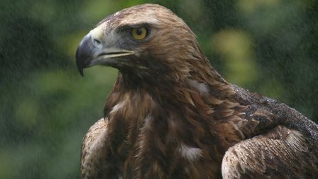 The golden eagle is an inhabitant of the highlands of Scotland