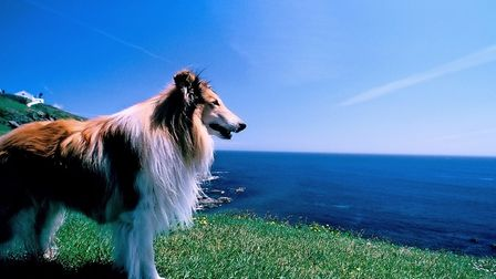 BP275R DOG LOOKING OUT TO SEA AT THE LIZARD PENINSULA IN CORNWALL.,
