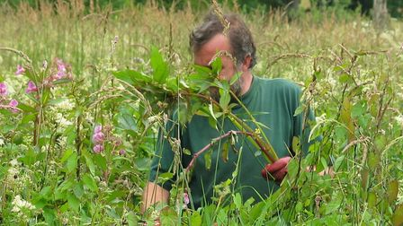 Rangers in the Lakes clearing Himalayan Balsam (Picture: Roland Wicksteed)
